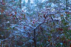 1-HUCKLEBERRY-SNOW