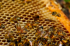 4-HONEY-BEES