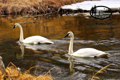 9-28 TRUMPETER SWANS_EAGLE RIVER
