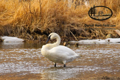 9-29 TRUMPETER SWAN_EAGLE RIVER