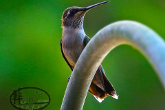 2-90 HUMMINGBIRD MS
