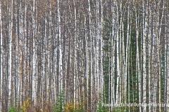 4-06 YUKON FOREST_sm